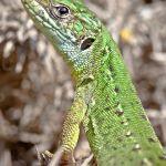 Green lizard. Photo by Dan Lay