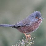 Dartford warbler. Photo by Mick Dryden