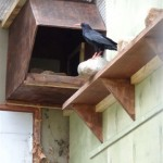 Tristan inspecting SF2 nest box. Photo by Liz Corry