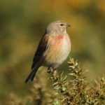 Linnet. Photo by Mick Dryden