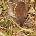 Millet's shrew in Jersey. Photo by Gregory Guida