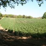 North Coast potato field, May 2012. Photo by HGYoung