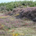 North Coast heathland showing gorse, heather and bell heather. Photo by Tim Wright