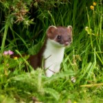 Stoat. Photo by Marsch