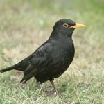 Male blackbird. Photo by Mick Dryden