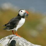 Atlantic puffin. Photo by Tom Marshall