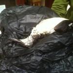 Dead common guillemot, April 2013. Photo by Alderney Wildlife Trust