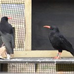 Choughs in the Sorel aviary. Liz Corry. April 2013