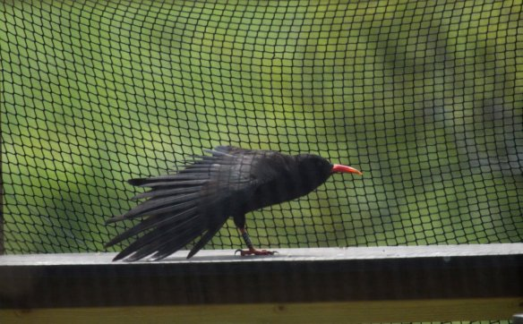 Red-billed chough at Sorel. May 2013. Photo by Andrew Koester