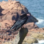 Chough near Sorel Point. Photo by Liz Corry