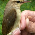 Swainson's warbler. Photo from Powdermill Bird Obs, Pennsylvania www.powdermillarc.org