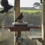 Choughs weighing themselves on scales in aviary. Photo by Liz Corry