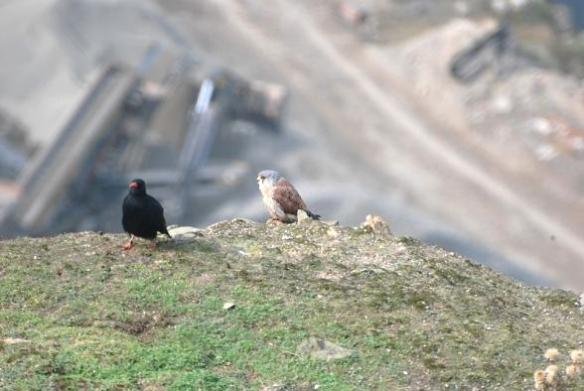 With all the choughs in the aviary, Black has to make new alliances beginning with a friendly game of hide and seek. Photo 1 by Liz Corry