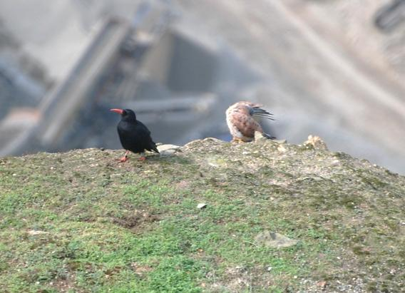 With all the choughs in the aviary, Black has to make new alliances beginning with a friendly game of hide and seek. Photo 2 by Liz Corry