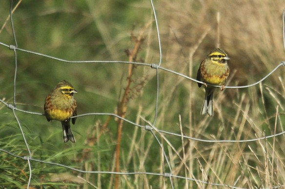 Cirl buntings at Noirmont. Photo by Mick Dryden