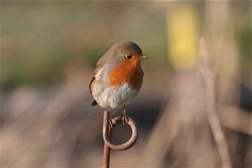 Robin. Photo by Tony Paintin