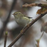 Yellow-browed warbler. Photo by Mick Dryden