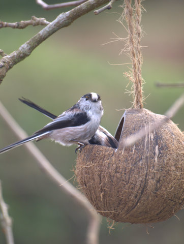 Long-tailed tits. Photo courtesy of National Trust for Jersey