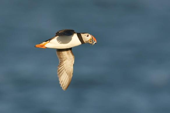 Alderney puffin in better days. Photo by Paul Marshall