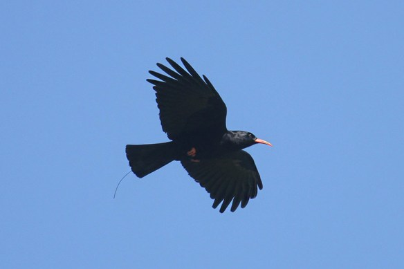 Red-billed chough. Sorel 9-4-2014. Photo by Mick Dryden