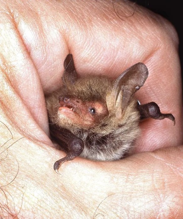 140624 Photo of a Natterer's bat