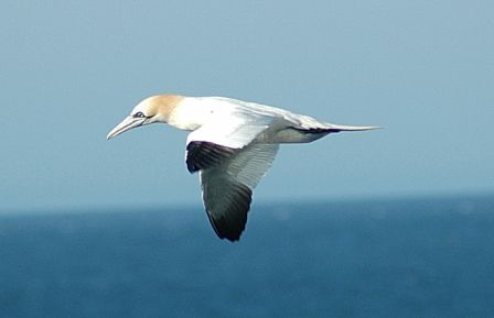 Gannet (2). Photo by Romano da Costa