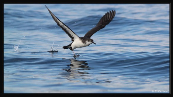Manx shearwater. Photo by Regis Perdriat (2)