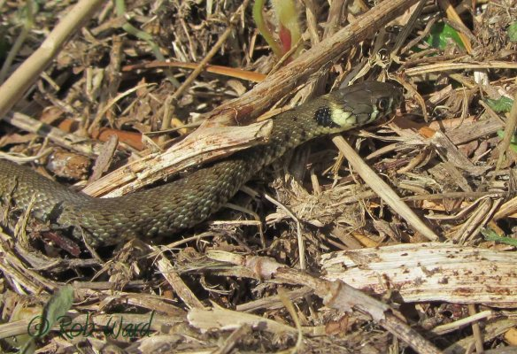 Grass snake in Jersey. Photo by Rob Ward
