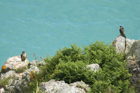 Peregrine pair 2012. Photo by Mick Dryden