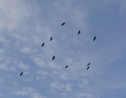 chough chicks and adults flying