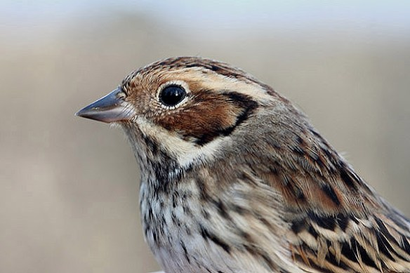 Little bunting. Photo by Mick Dryden