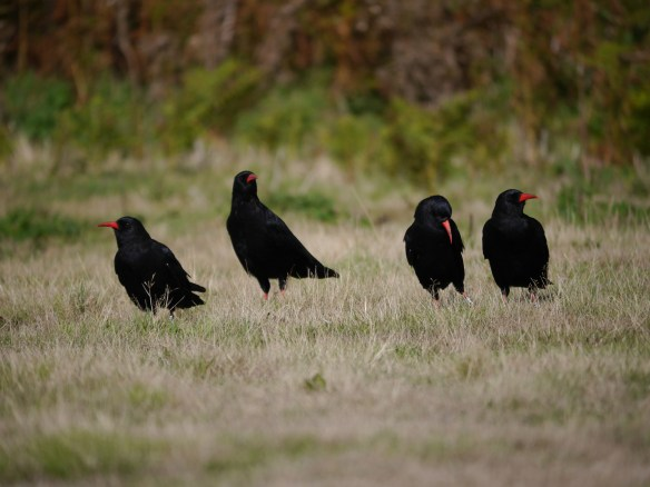 Four of the released choughs taking a break at Sorel. Photo by Liz Corry