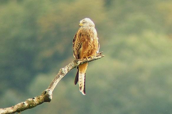Red kite. Photo by Regis Perdriat