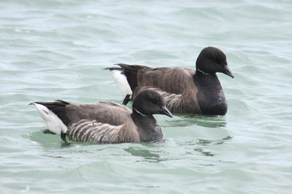 Brent geese (12). Photo by Mick Dryden
