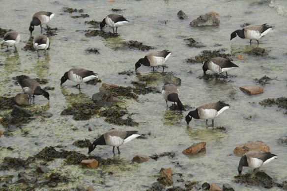 Brent geese (9). Photo by Mick Dryden