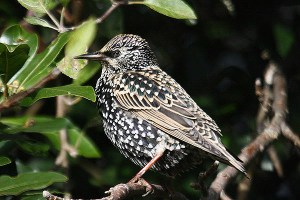 Common starling (2). Photo by Mick Dryden
