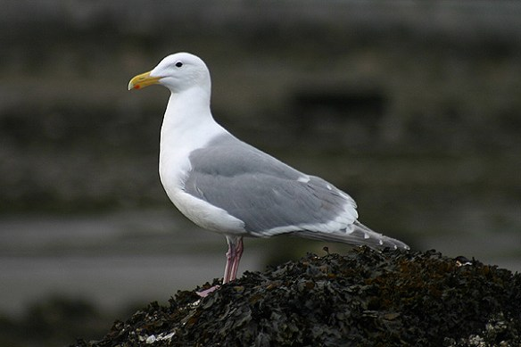 Glaucous-winged gull in Canada. Photo by Mick Dryden