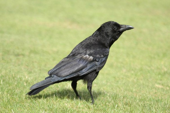 Carrion crow (2). Photo by Mick Dryden
