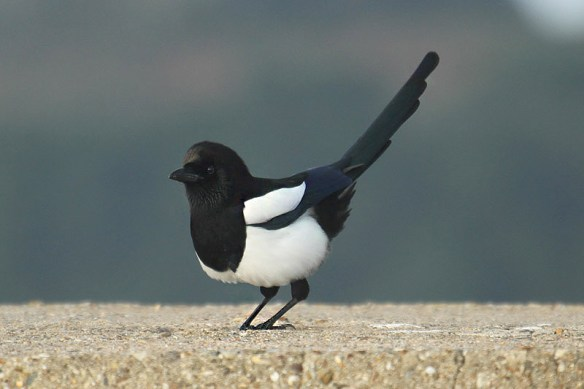 Magpie (2). Photo by Mick Dryden