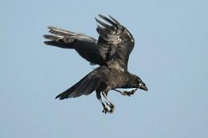 Raven (3). Photo by Mick Dryden