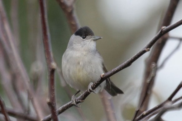 Blackcap. Photo by Mick Dryden