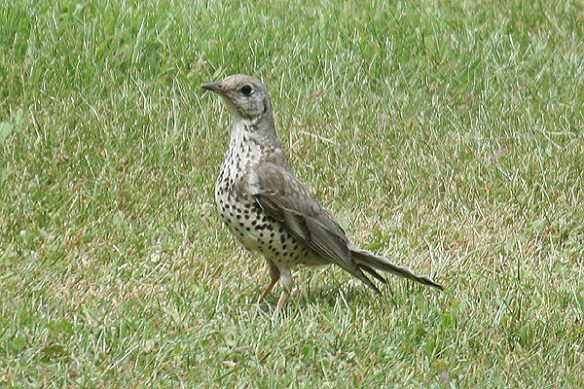 Mistle thrush. Photo by Mick Dryden