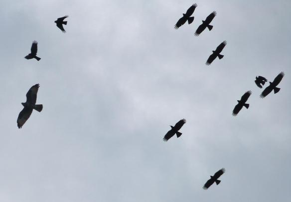 Red-billed chough and common buzzard. Sorel, Jersey. October 2014. Photo by Nick Parlett  (4)