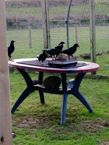 The choughs weighing themselves in the aviary. Photo by Harriet Clark