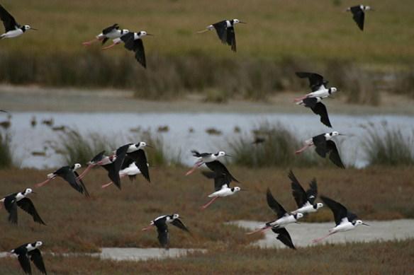 Black-winged stilt. Photo by Mick Dryden