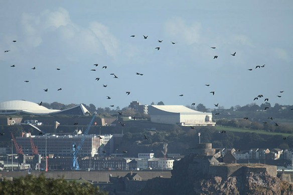 Wood pigeon leaving Noirmont. Photo by Mick Dryden