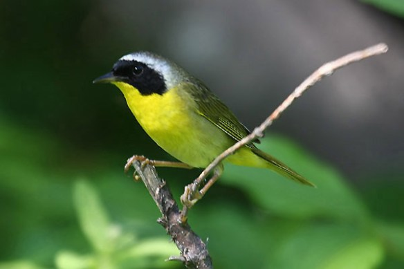 Common yellowthroat. Photo by Mick dryden