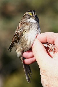 White-throated sparrow. Photo by Mick Dryden
