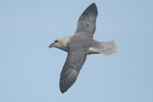 Fulmar (2). Photo by Mick Dryden