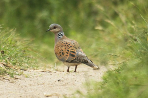 Turtle dove. Photo by Mick dryden